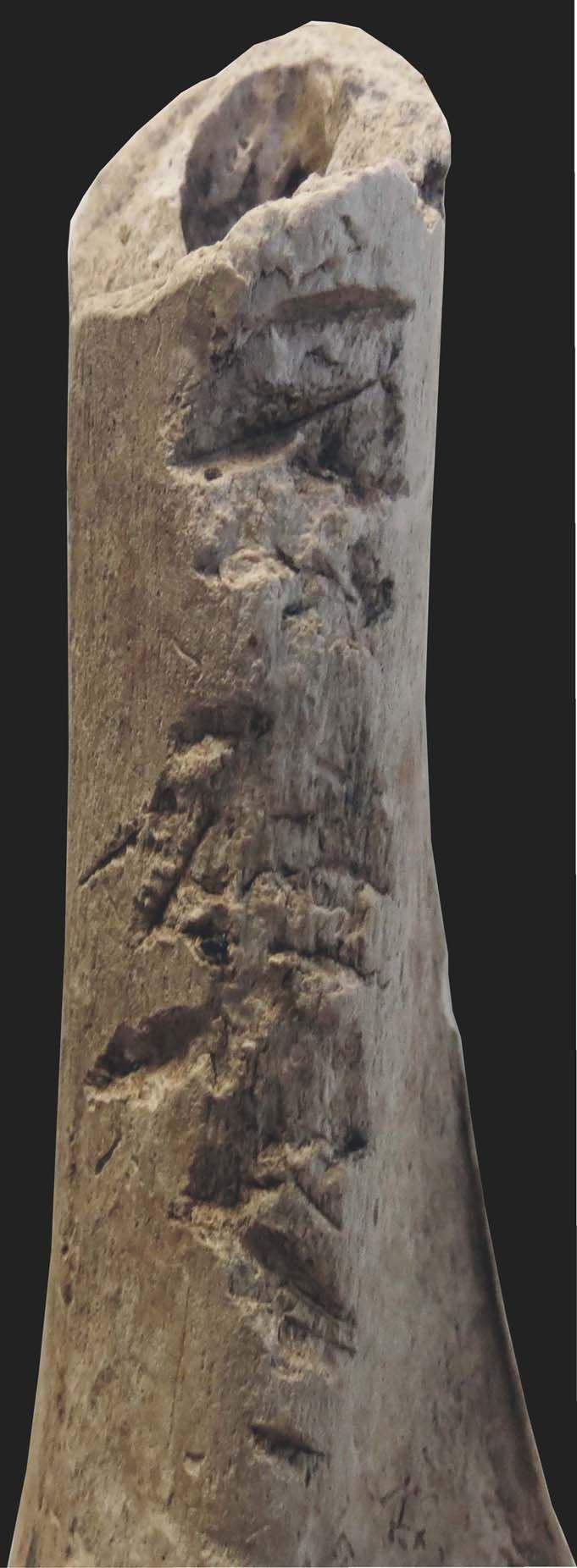 Traces de violence néolithique, humérus sectionné, fosse 157 , 1229-2972 av. notre ère