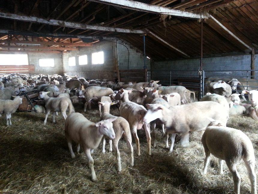 Le troupeau de Serge Gémard a été plusieurs fois attaqués par des chiens du camp Vanier à Vassieux en Vercors