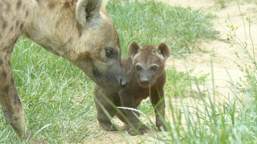 La petite hyène née le 7 Mai 2014 au Safari Parc de Peaugres en Ardèche