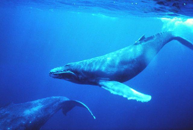 Les baleines pourront-elles continuer à chanter ?