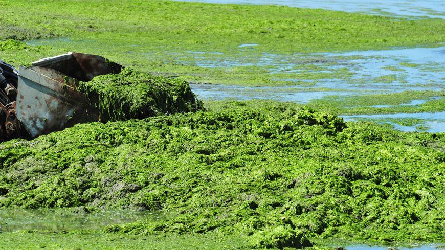 Des algues vertes sur la plage de Saint-Michel-en-Grève, dans les Côtes d'Armor