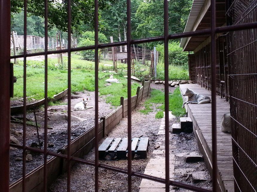 La soixantaine de chiens de traîneau doivent quitter le camp Nicolas Vanier à Vassieux en Vercors