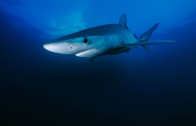 Un requin bleu - image d'illustration