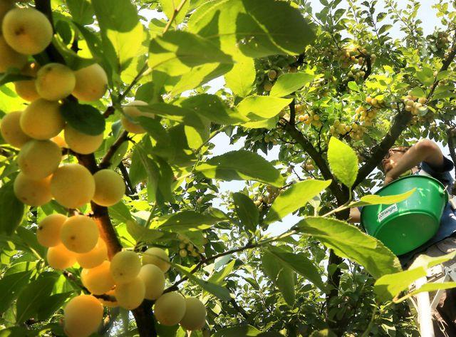 La saison des mirabelles débute en Lorraine.
