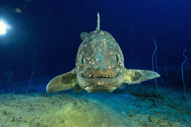 Le coelacanthe nous sourit