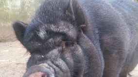 Cagnotte est un cochon vietnamien d'une soixantaine de kilos.