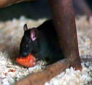 Le rat noir