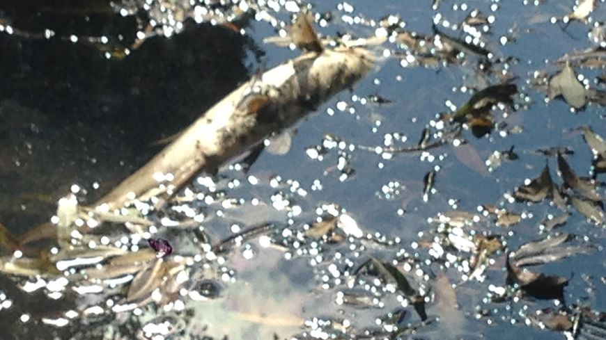 Un poisson mort dans le Petit-Cher