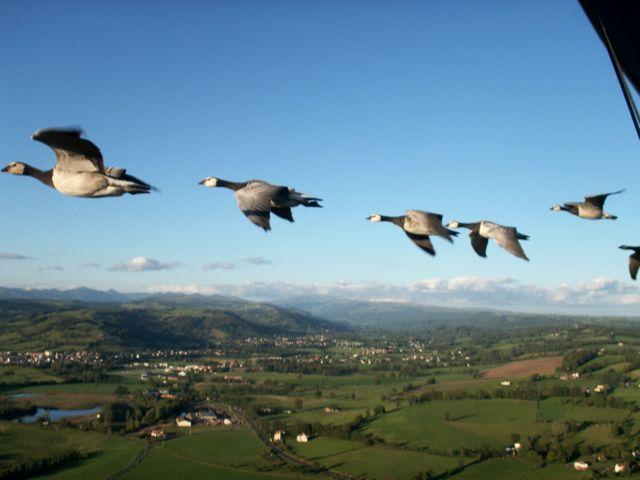 Bernaches nonnettes au dessus des monts du Cantal