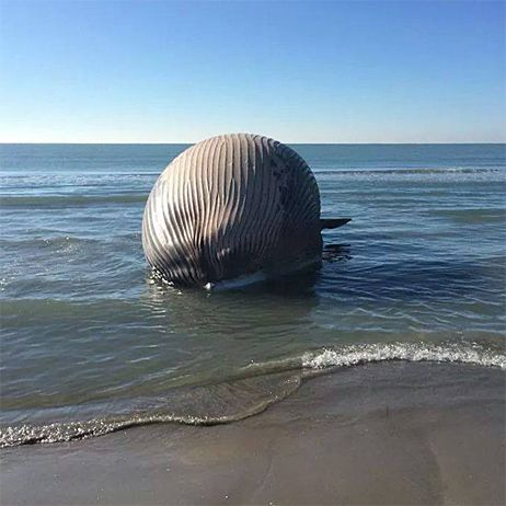 Insolite Une Baleine échouée Sur La Plage Aux Saintes Maries De La Mer