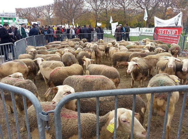 Moutons sous la Tour Eiffel. les bergers d'Auvergne et de Champagne-Ardennes protestent contre le loup
