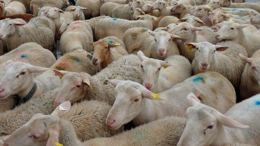 Troupeau de brebis et de moutons (illustration)