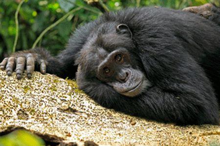 Regard de Chimpanzé
