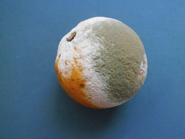 Citrus sinensis cubierta con moho 2013 000