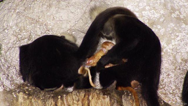 Une sage-femme chez les singes
