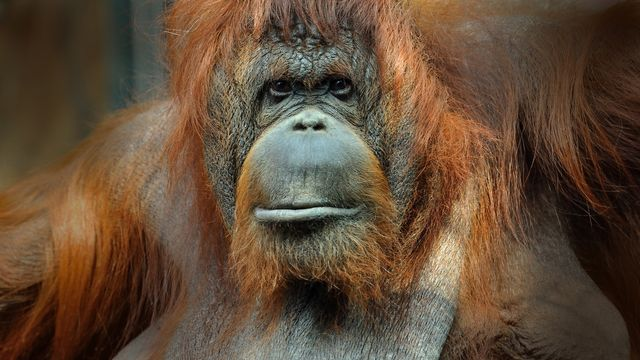Orang-outan de Bornéo, femelle adulte