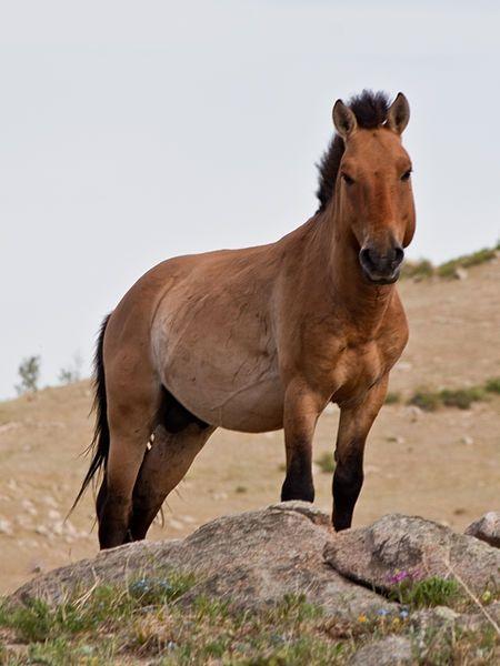 Un Przewalski à Hustai en Mongolie