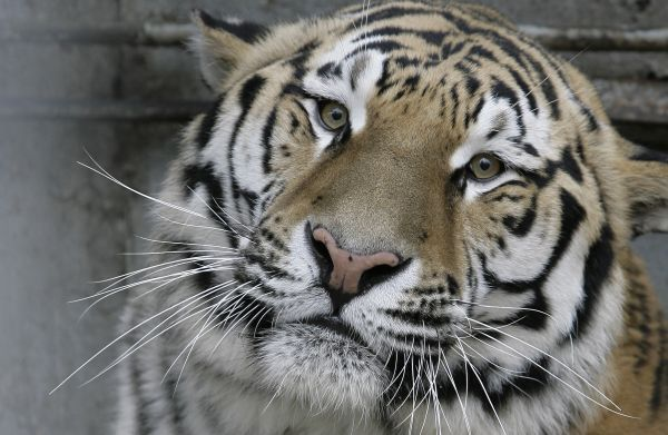 Le tigre, espèce menacée.