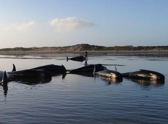 200 baleines-pilotes échouées