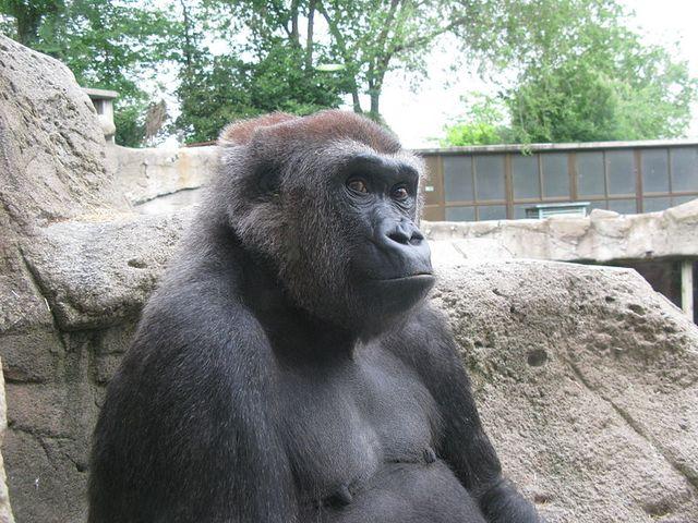 Gorille des plaines de l'Ouest (gorilla gorilla gorilla) femelle, curieuse, au zoo de Madrid.