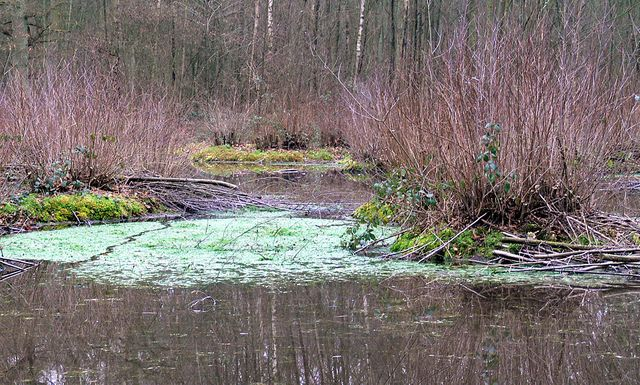 Hottonie des marais dans le Parc naturel régional Scarpe-Escaut