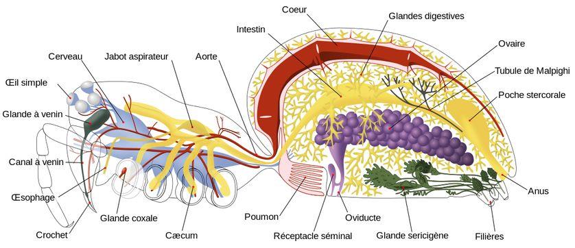 Schéma anatomique d'une araignée femelle