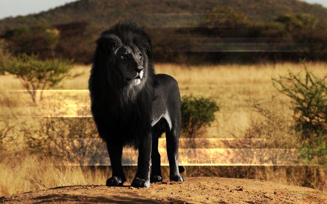 """Lion """"noir"""""""
