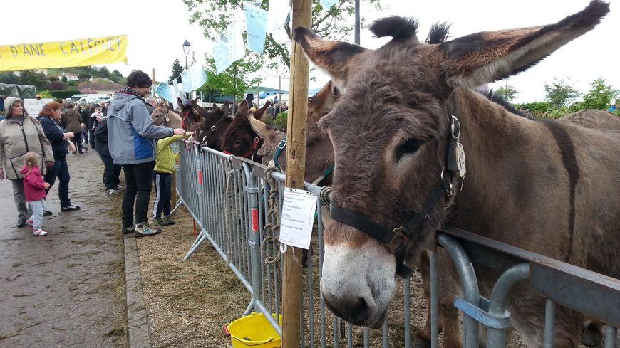 Une centaine d'ânes exposée à Farnay