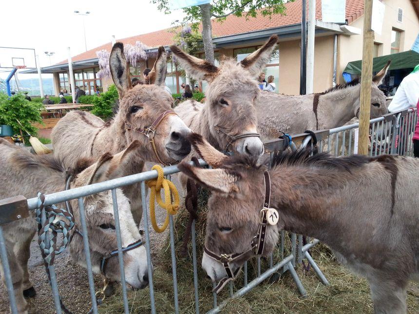 5000 amoureux des ânes dans le Pilat
