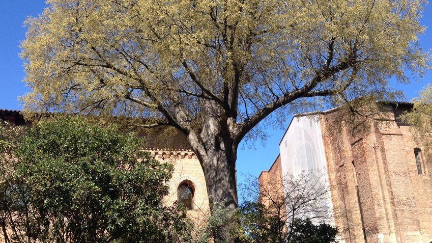 FBToulouse le micocoulier centenaire de St Sernin