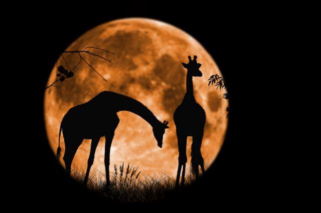 """Giraffes at Full Moon"""