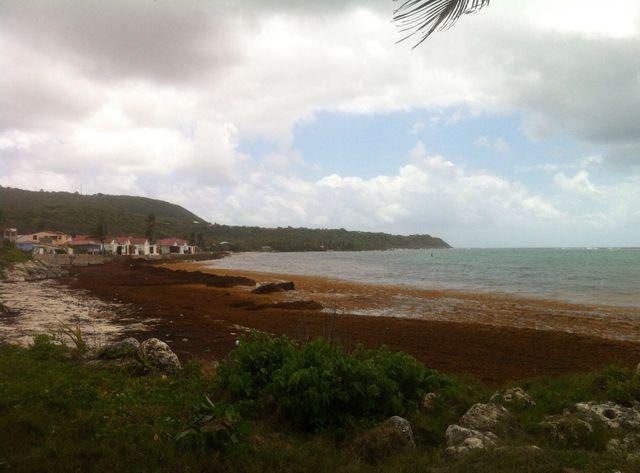 Les plages des Antilles sont envahies par les sargasses.