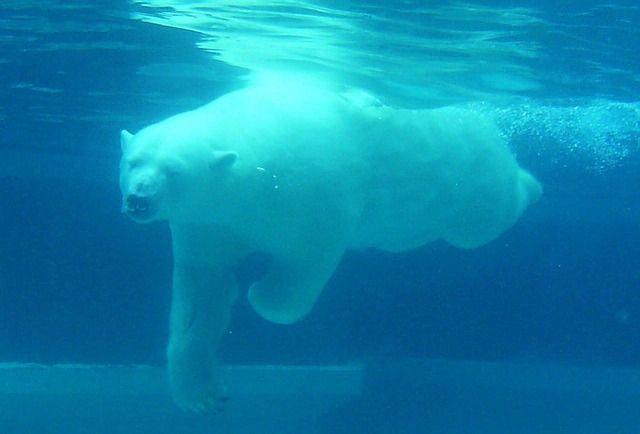 Les ours polaires sont parmi les espèces en danger