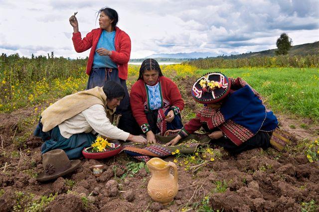 Plantations de pommes de terre au Pérou