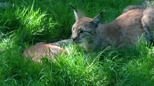 Le lynx du zoo de Jurques déguste sa glace au... sang