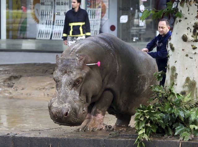 La neutralisation d'un hippopotame