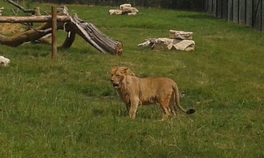 L'un des deux mâles lions au Parc de l'Auxois.