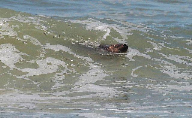 Le phoque amoureux de Montalivert a provoqué une fermeture de la plage