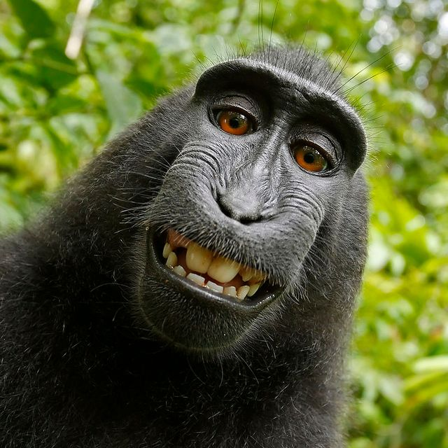 Selfie d'un macaque à crête femelle