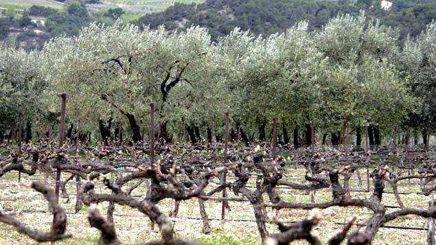 Xylella Fastidiosa touche les vignes, les oliviers, et plusieurs autres espèces végétales