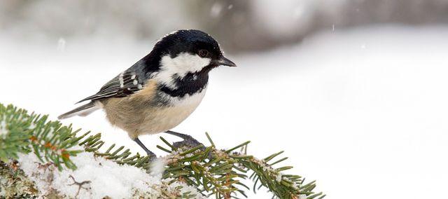 Mésange noire en hiver, Autriche
