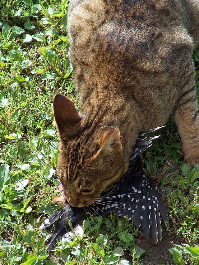 chat prédateur