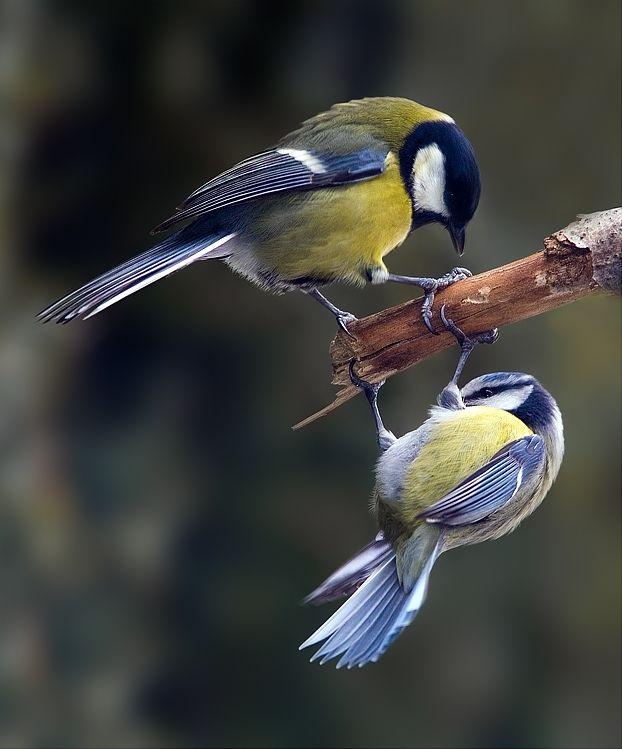 Mésange charbonnière et mésange bleue