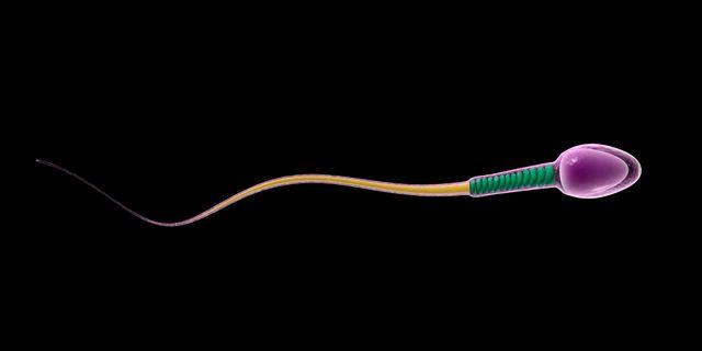 Anatomie d'un spermatozoïde