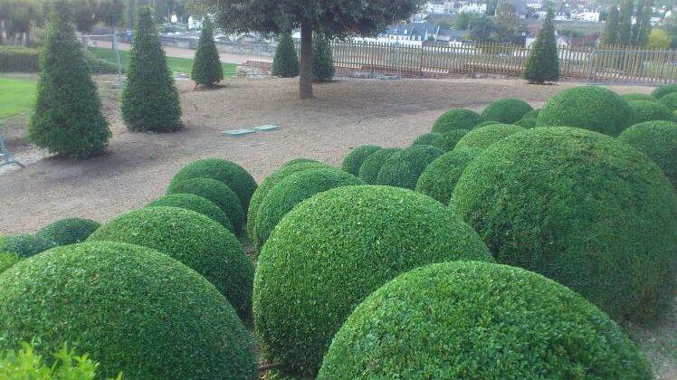 Les buis sont la fierté de nombreux parcs de châteaux, comme ici à Amboise