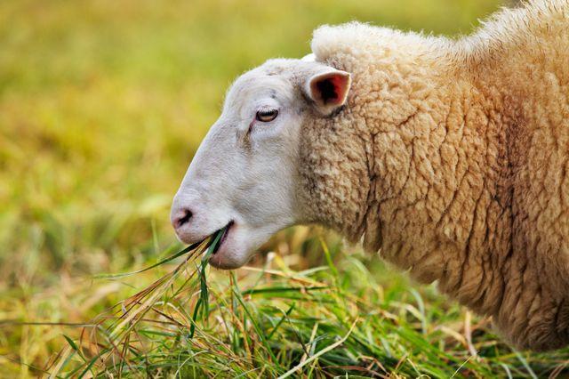 Mouton qui broute
