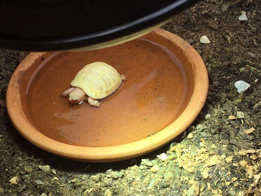 """Le bain chauffé de la tortue """"Hope"""""""