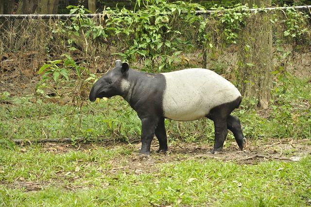 Bébé Tapir