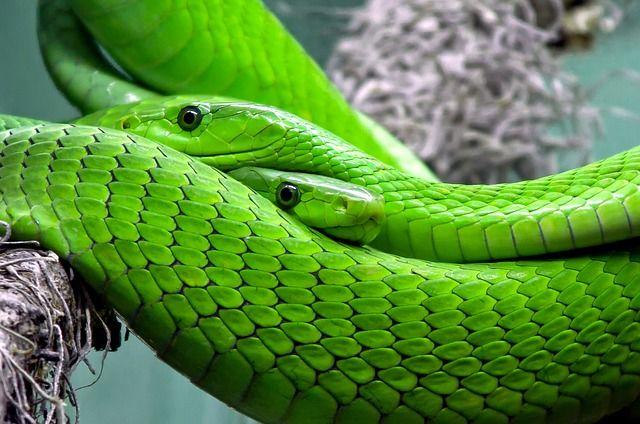 Eden - Serpent Mamba