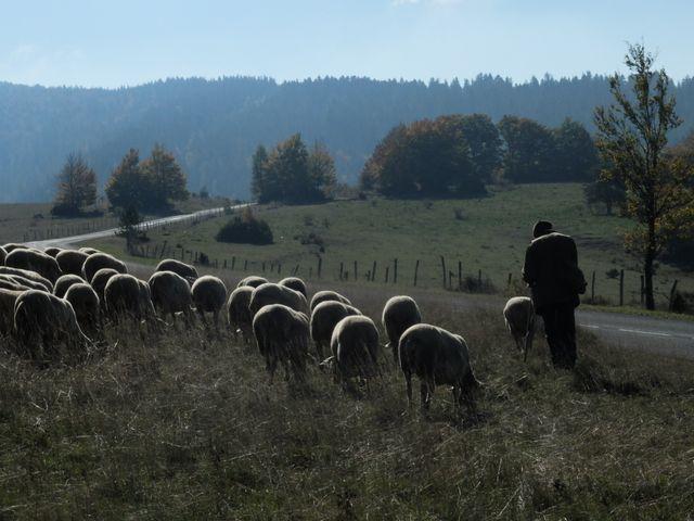 Des brebis pâturent sur le Causse Méjan, où les attaquent de loup se multiplient